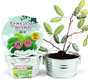 BUZZY Kids' Mini Basin Seed Grow Kit, Sensitive Plant (Shameplant), Best Gardening Gifts, Favors, and Prize, Home Garden, Indoors and Outdoors, Parties, Events, Unique, Fun, Growth Guaranteed