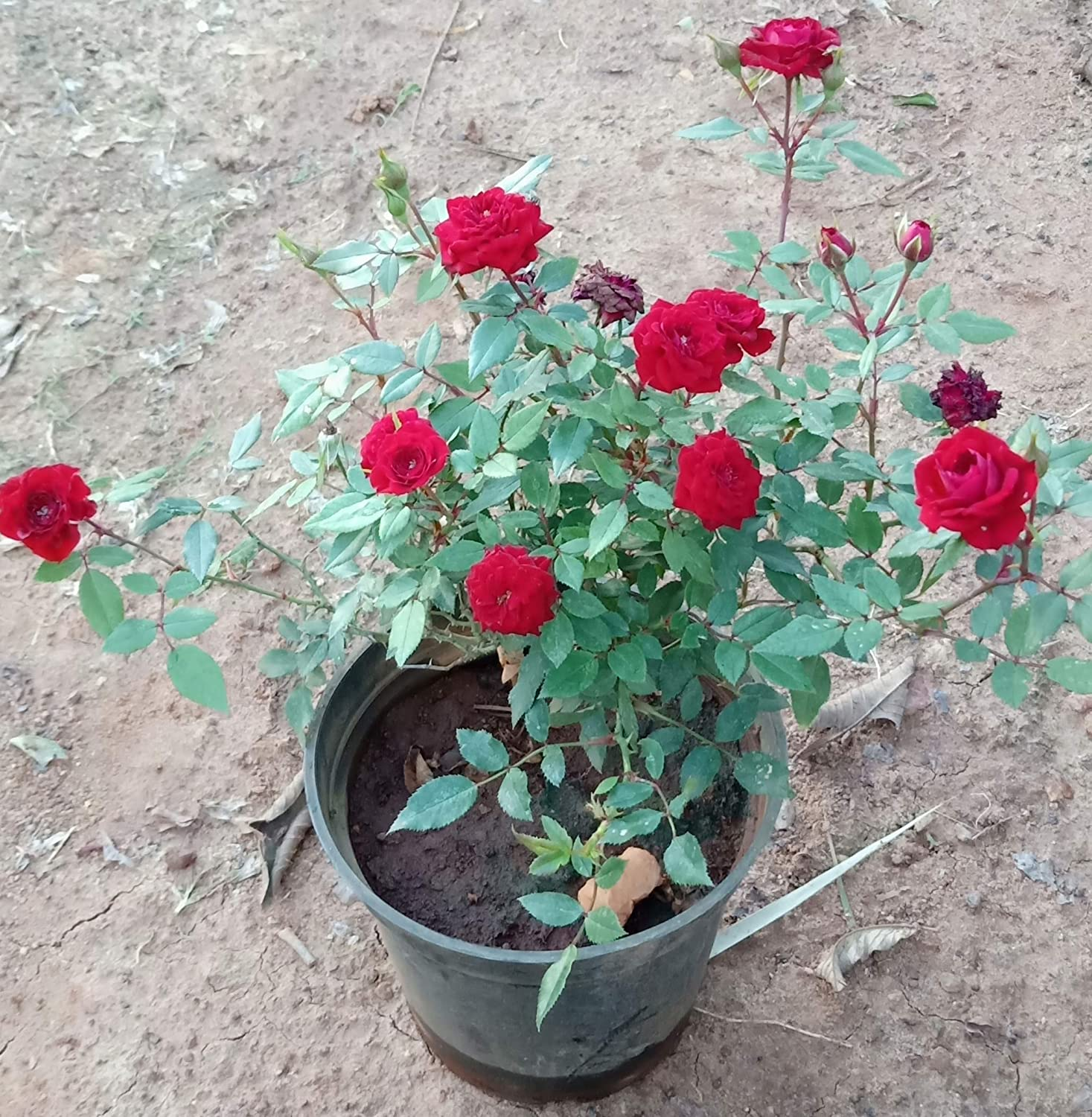 Zooqa Roses Red Rose Plant Button Rose Strong Stem With Pot