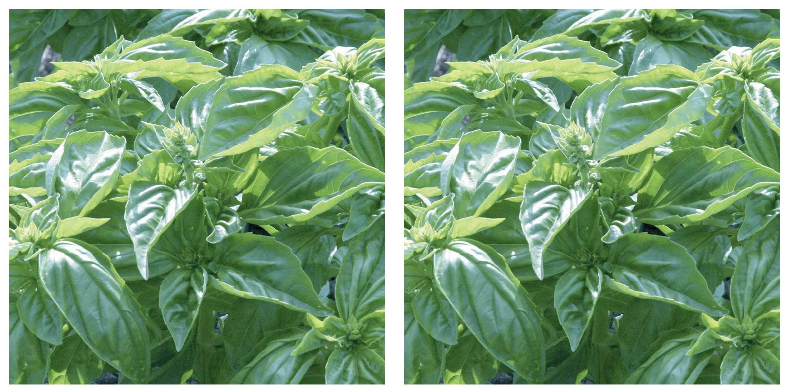 Burpee Genovese' Basil 3 Live Plants, 2 1/2'' Pot (Тwо Расk) by  (Image #1)