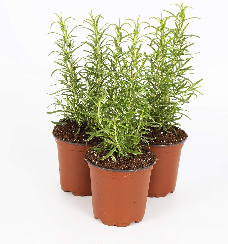 Amazon.com: The Three Company sano aromático y comestible ...