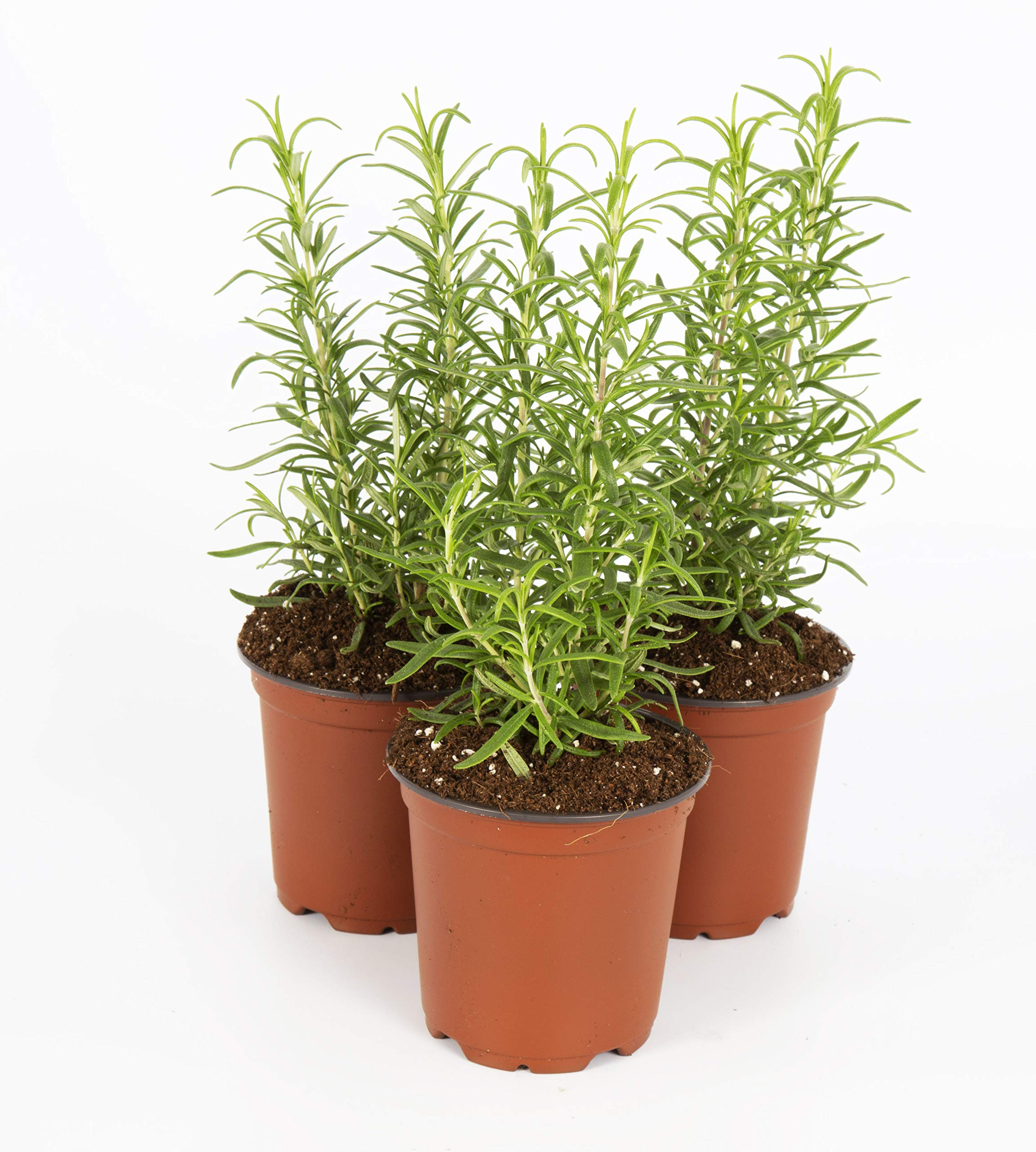The Three Company Live Plant Aromatic Herb 4'' Rosemary (4 Per Pack)