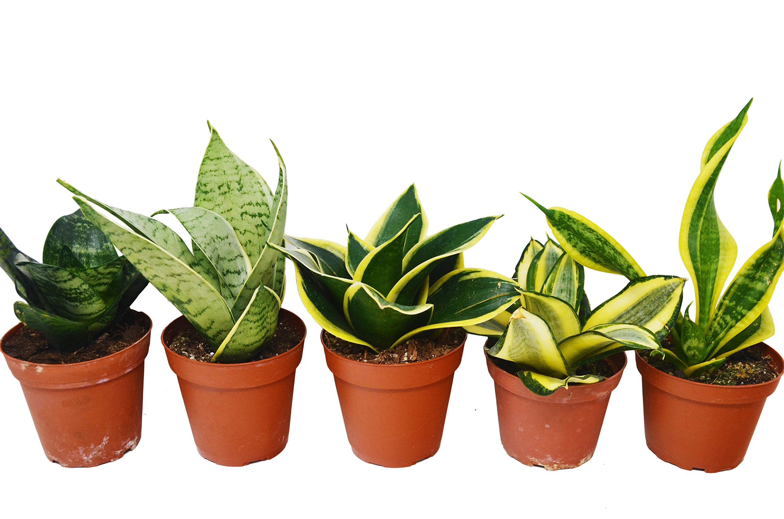 5 Different Snake Plants in 4'' Pots - Sansevieria - Live Plant - FREE Care Guide