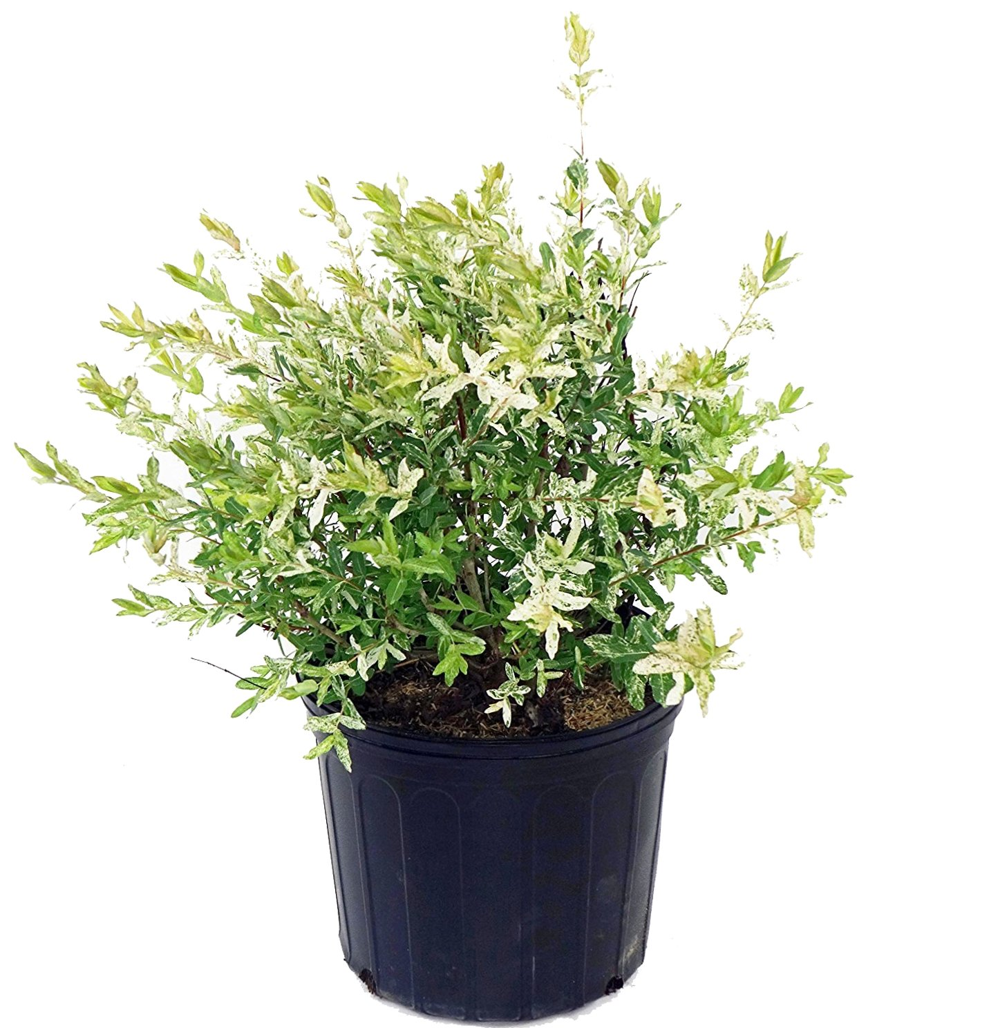 Green Promise Farms -  Salix `Hakaro Nishiki' (Dappled Willow)Shrub,  #3 -Size Container by Green Promise Farms