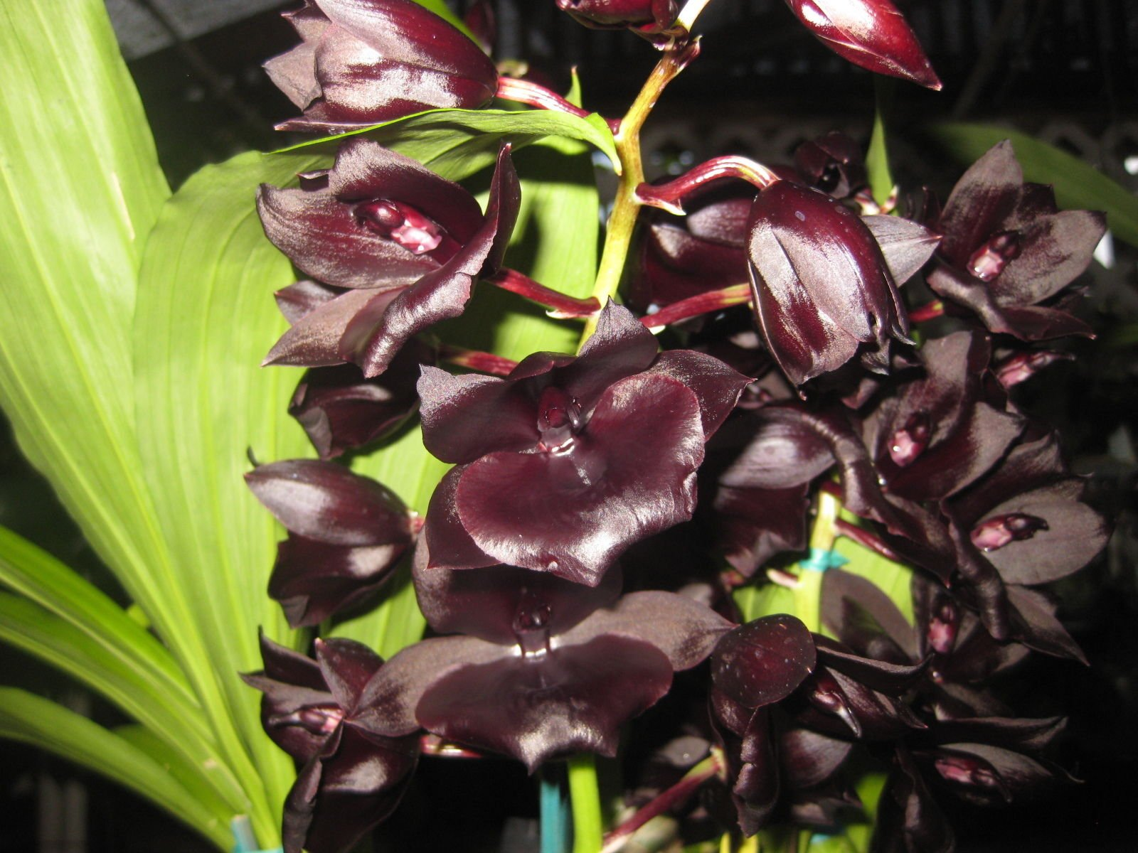 Kawamoto Orchid Nursery Monnierara Millennium Magic 'Witchcraft' AM/AOS Collectors item! Excellent! Orchid plant