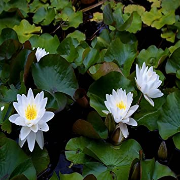 Amazoncom Water Lilies Lotus Flower Live Wallpaper Appstore For
