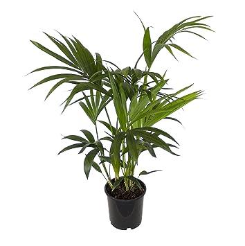 Kentia-Palme ca.60-80cm hoch, 1 Pflanze: Amazon.de: Garten