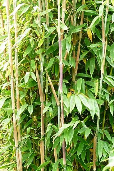 Bambus Fargesia Maasai Saulenbambus Winterhart Bildet Keine