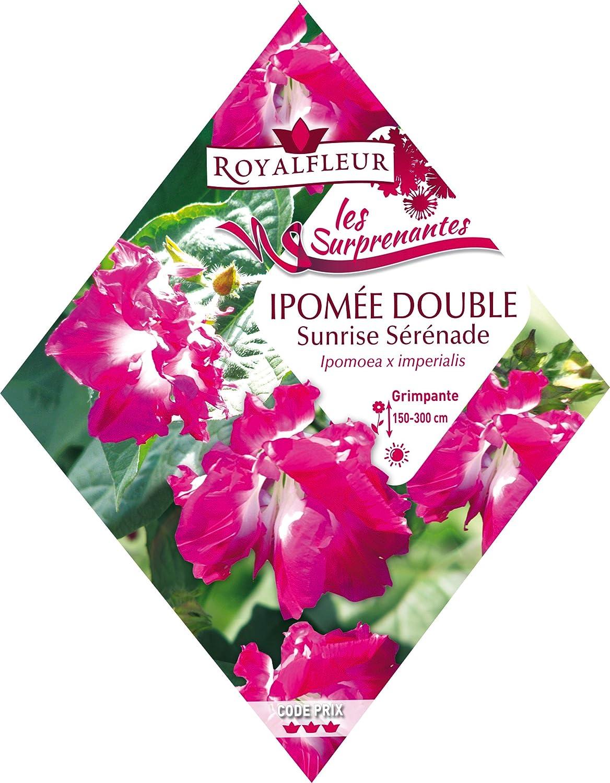 Royalfleur PFRK20587 Graines de Ipom/ée Double Sunrise S/ér/énade Surprenant