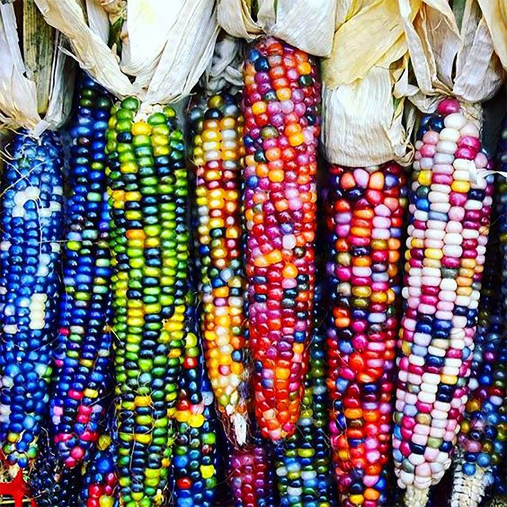 Austinstore 40Pcs/1 Pack Rainbow Corn Seeds Delicious Garden Yard Coarse Food Grain Planting