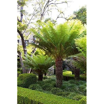 AchmadAnam - Live Plant - Tasmanian Tree Fern Dicksonia Antarctica - 1 Plants - 1 to 2 Feet Tall - Ship in 1 Gal Pot. E9 : Garden & Outdoor