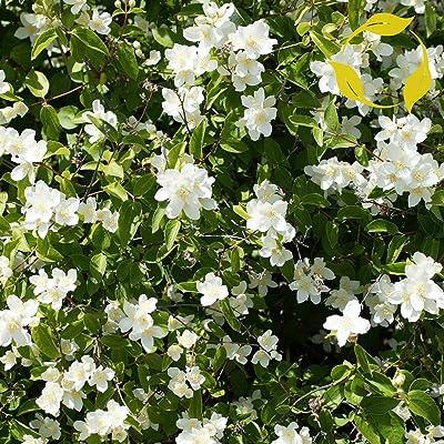 Tricastarts - Wild Mock Orange Philadelphus Lewisii - 50+ Seeds : Garden & Outdoor