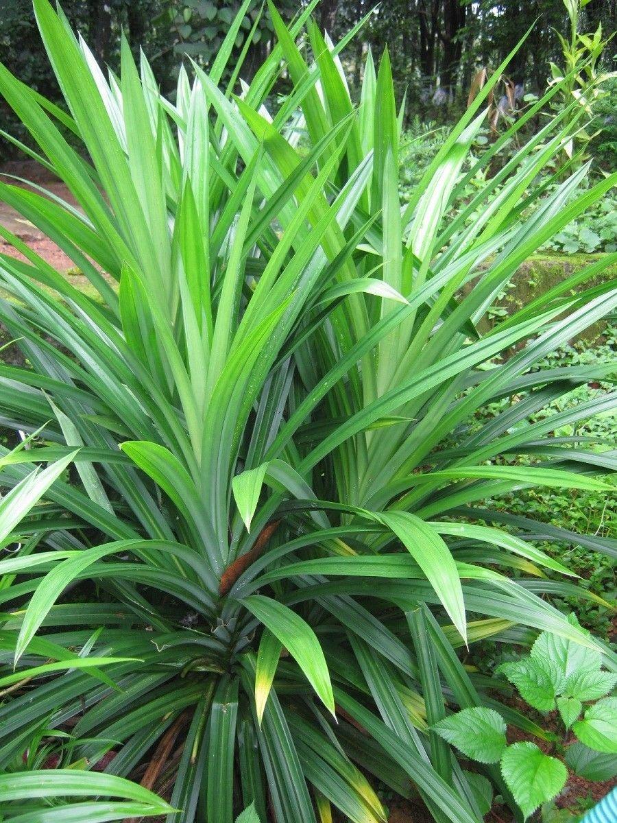 Pandanus Amaryllifolius, Pandan Leaf Plant, (Bai-Tooey), 8-12 inches