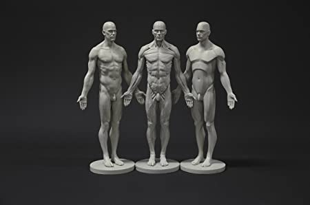 Male Anatomy Figure Collection Planar Ecorche And Skin