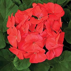 Pinto Premium F1 Series Geranium Flower Garden Seeds - Coral - 100 Seeds - Annual Flower Gardening Seeds