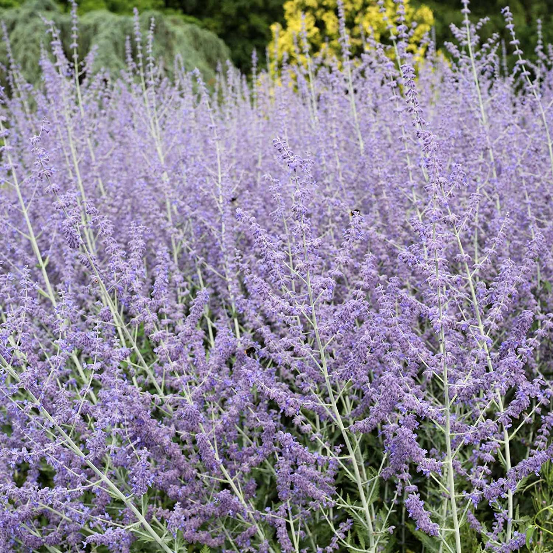 Perovskia - Blue Steel Russian Sage Seeds - 100 Seeds - Sky Blue Flowers - Drought Tolerant Perennial Landscape Plant - Perovskia atriplicifolia