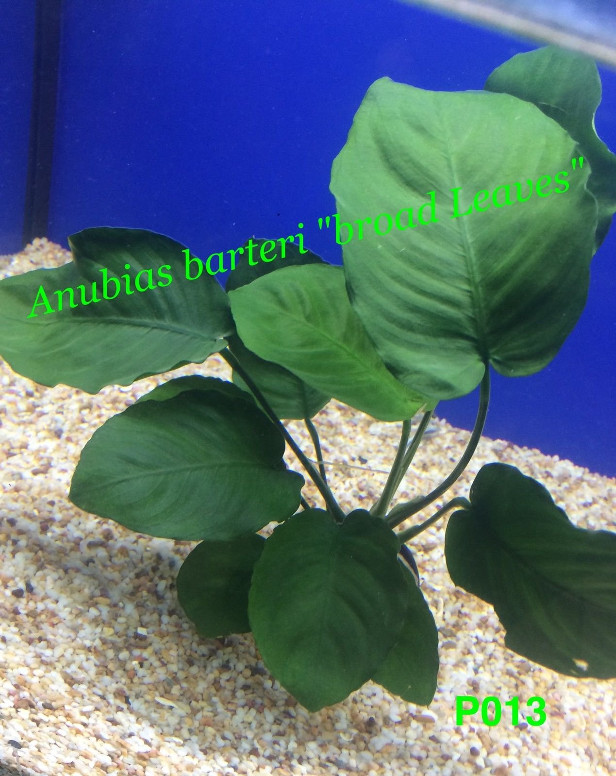 Beautiful Live Fresh Water Aquatic (Anubias barteri 'Broad Leaf' Potted Plant) by azaina_wg