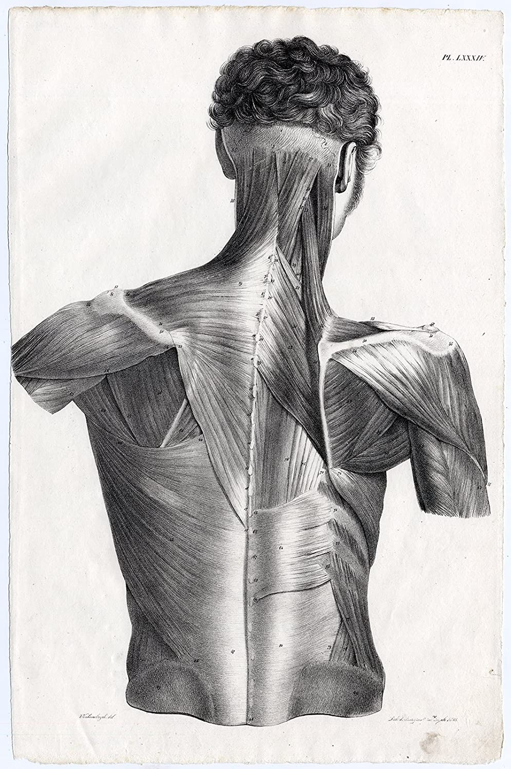 Antique Print Human Anatomy Muscles Back Shoulder Arm Neck Lxxxiv
