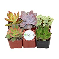 Deals on Shop Succulents Unique Succulent Collection of 5