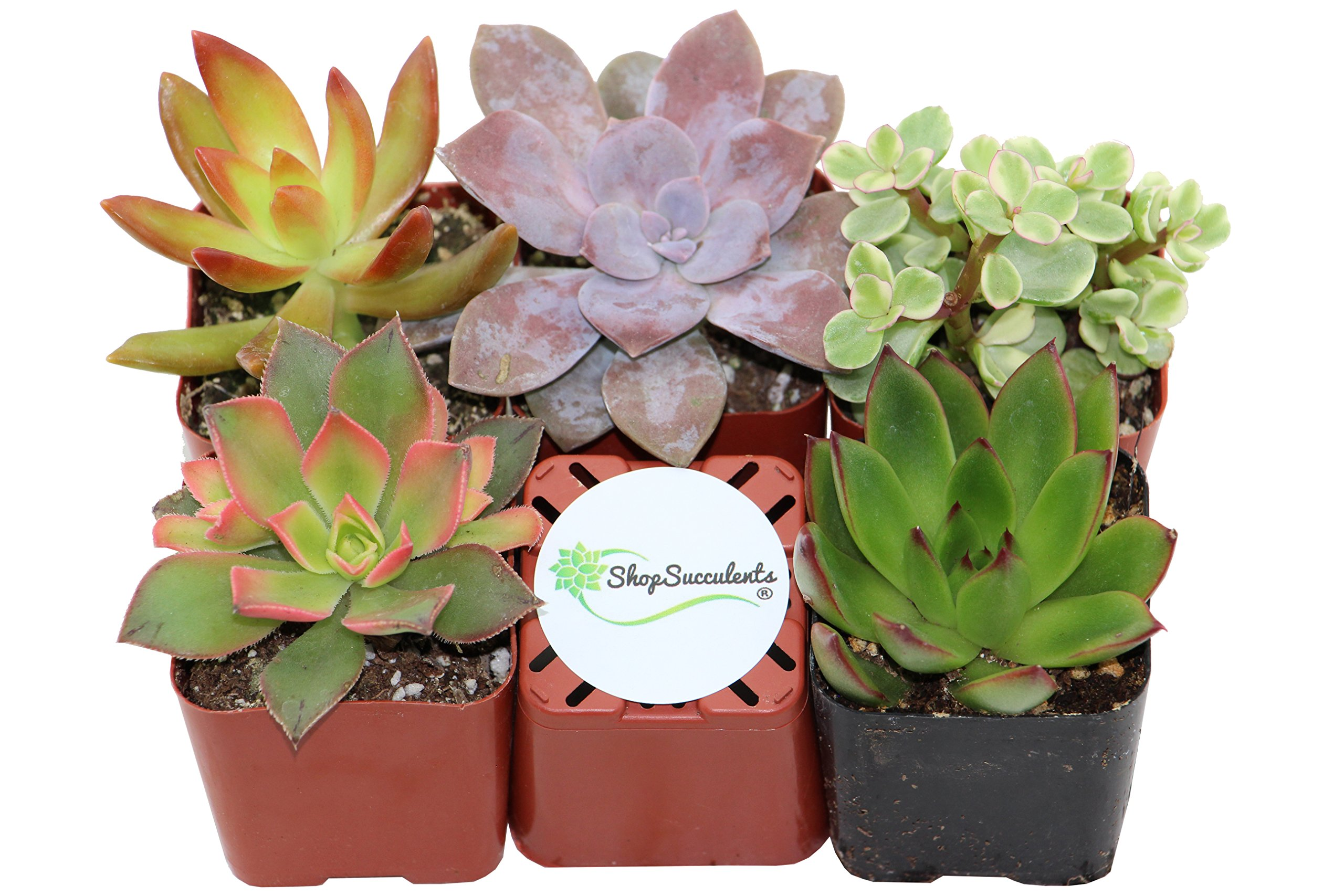 Shop Succulents Unique Succulent (Collection of 5)