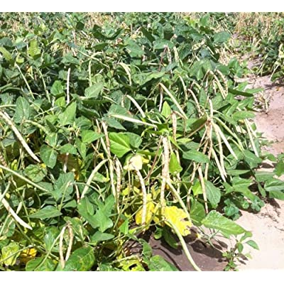 Dixie Lee Cream Crowder Southern Pea (Cowpea) Garden Vegetable Legume Seeds 85 : Garden & Outdoor