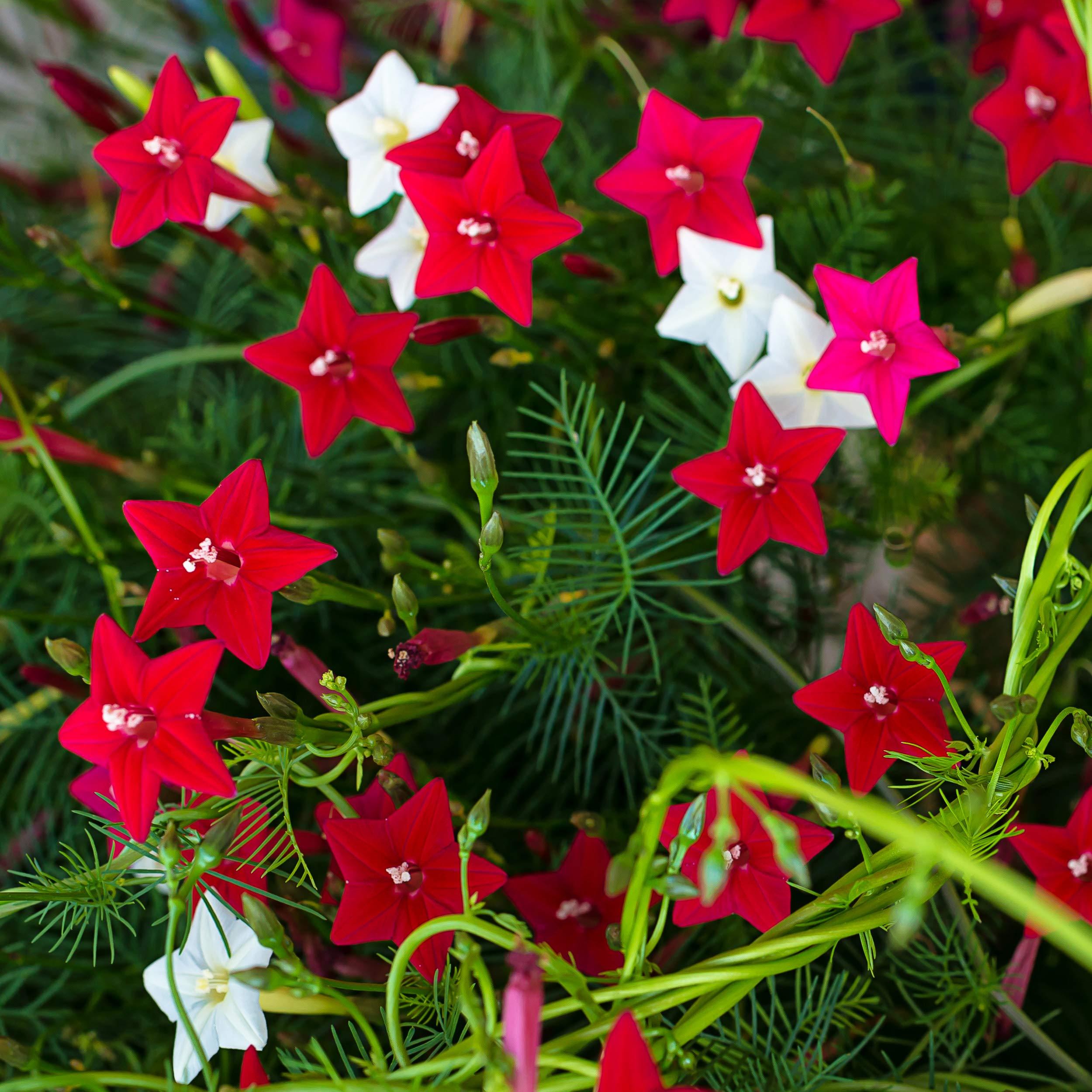 Red Trumpet Vine Year Live Plant Prolific Bloomer 2 Campsis x tagliabuana Madame Galen