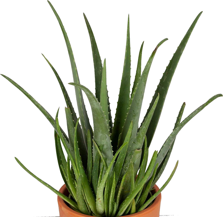 Succulentus BOTANICLY Altura: 15 cm Desertworld mezcla de mini plantas suculentas