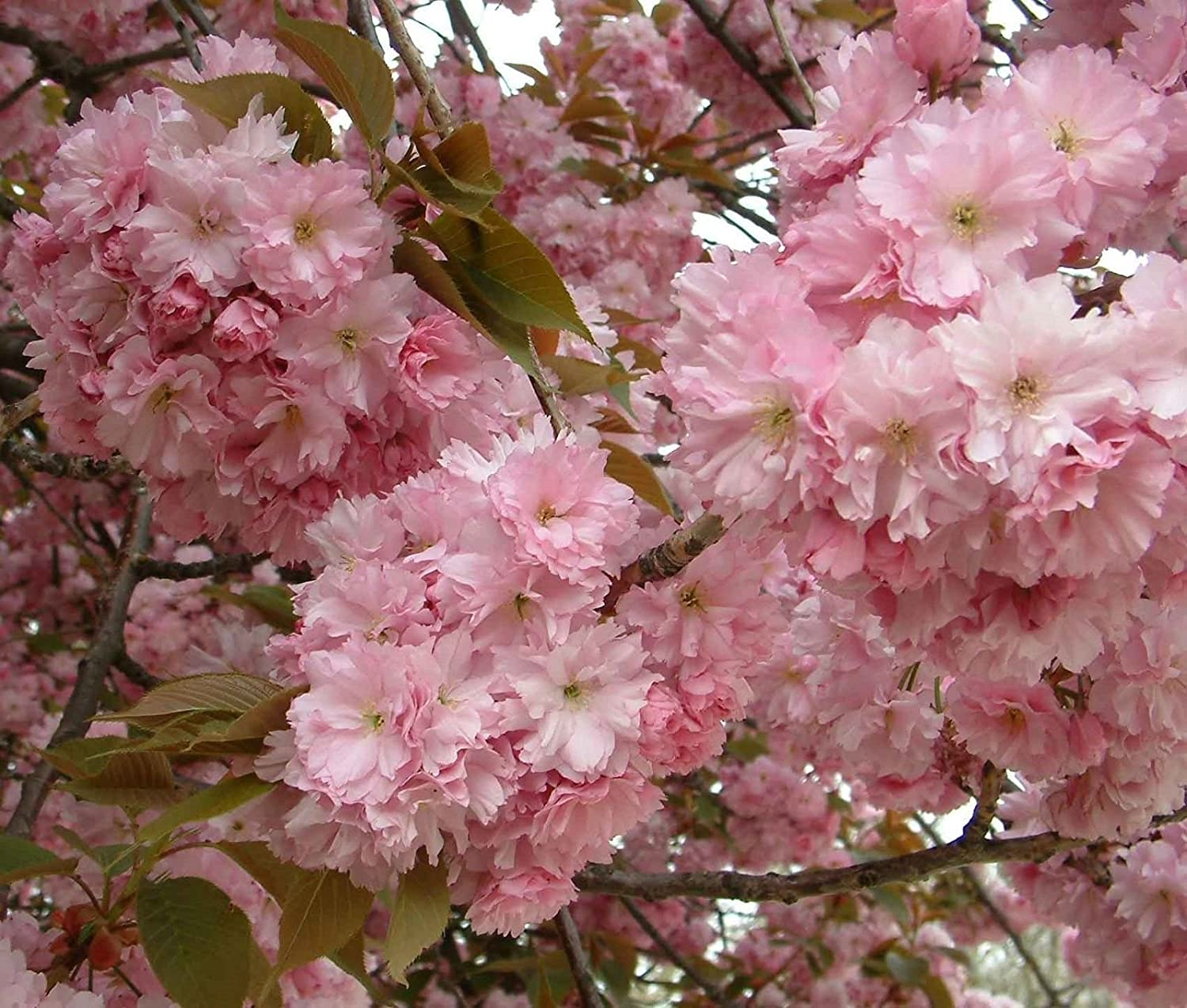 Amazon Com Japanese Flowering Cherry Prunus Serrulata Tree