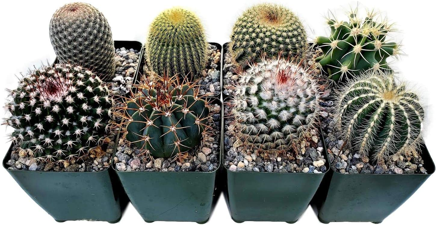 Fat Plants San Diego Cactus Plants. Variety Package of Indoor or Outdoor Cacti Plants for Gardens, Home Decor or Gifts (8)