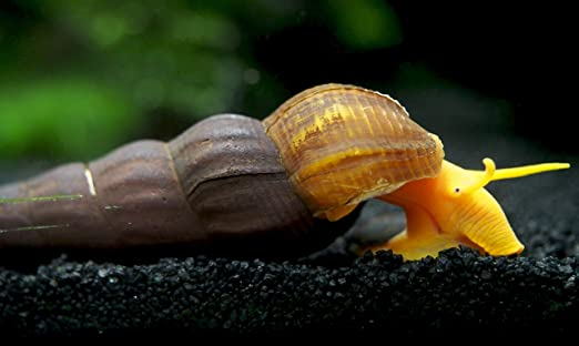 Giant Sulawesi Rabbit Snail