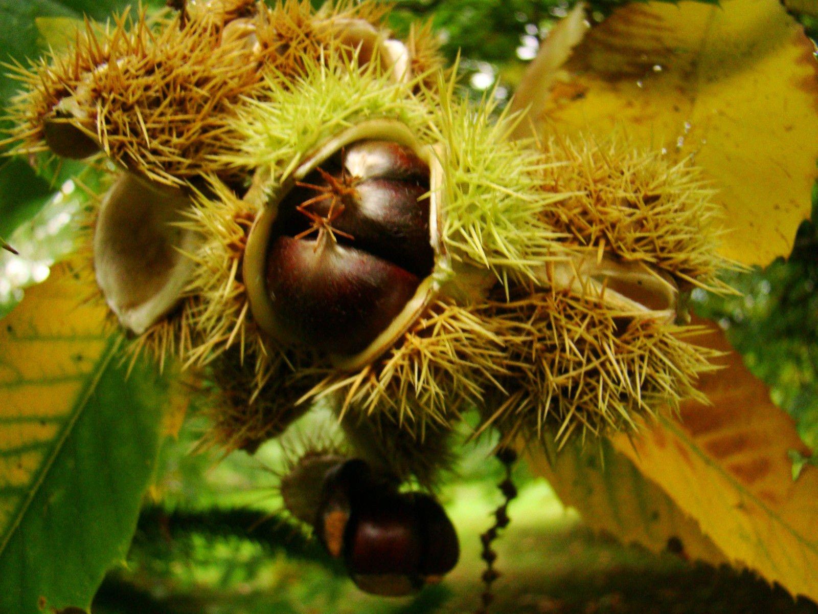 Sweet Chestnut Castanea Sativa Fruit Tree - Autumn Colours Edible Nuts, 15-20cm Tall Starter Plant in an 8cm Pot