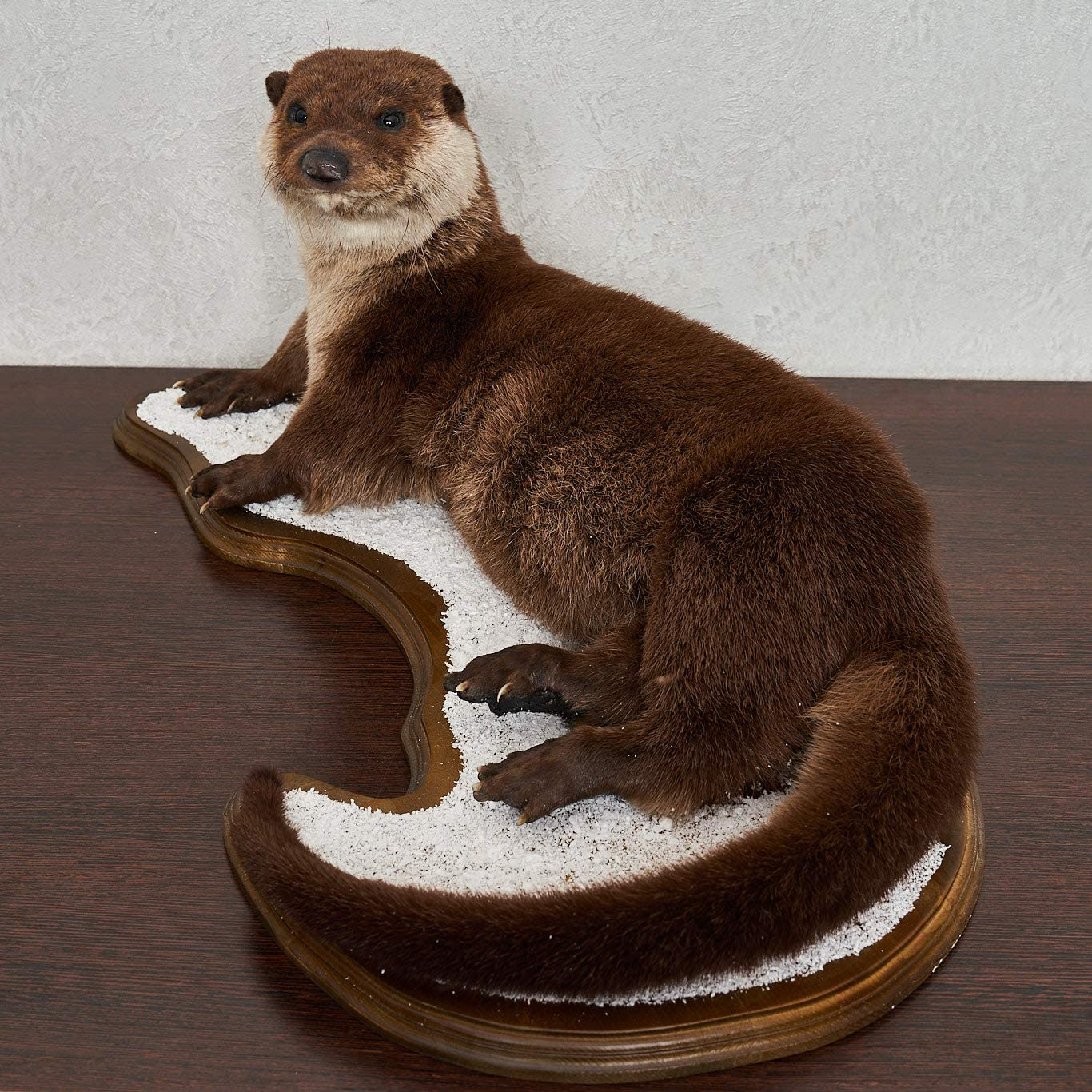 Amazon Com River Otter Taxidermy Mount Mounted Stuffed Animals For Sale Real Decor Lifesize St6355 Sports Outdoors