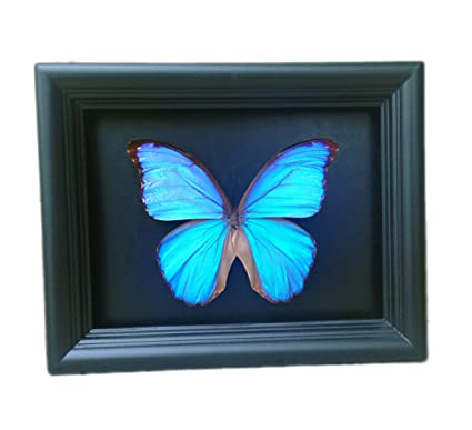 Real Framed Butterfly Decoration   Blue Morpho   Insects, Taxidermy, Bugs,  Home Decor