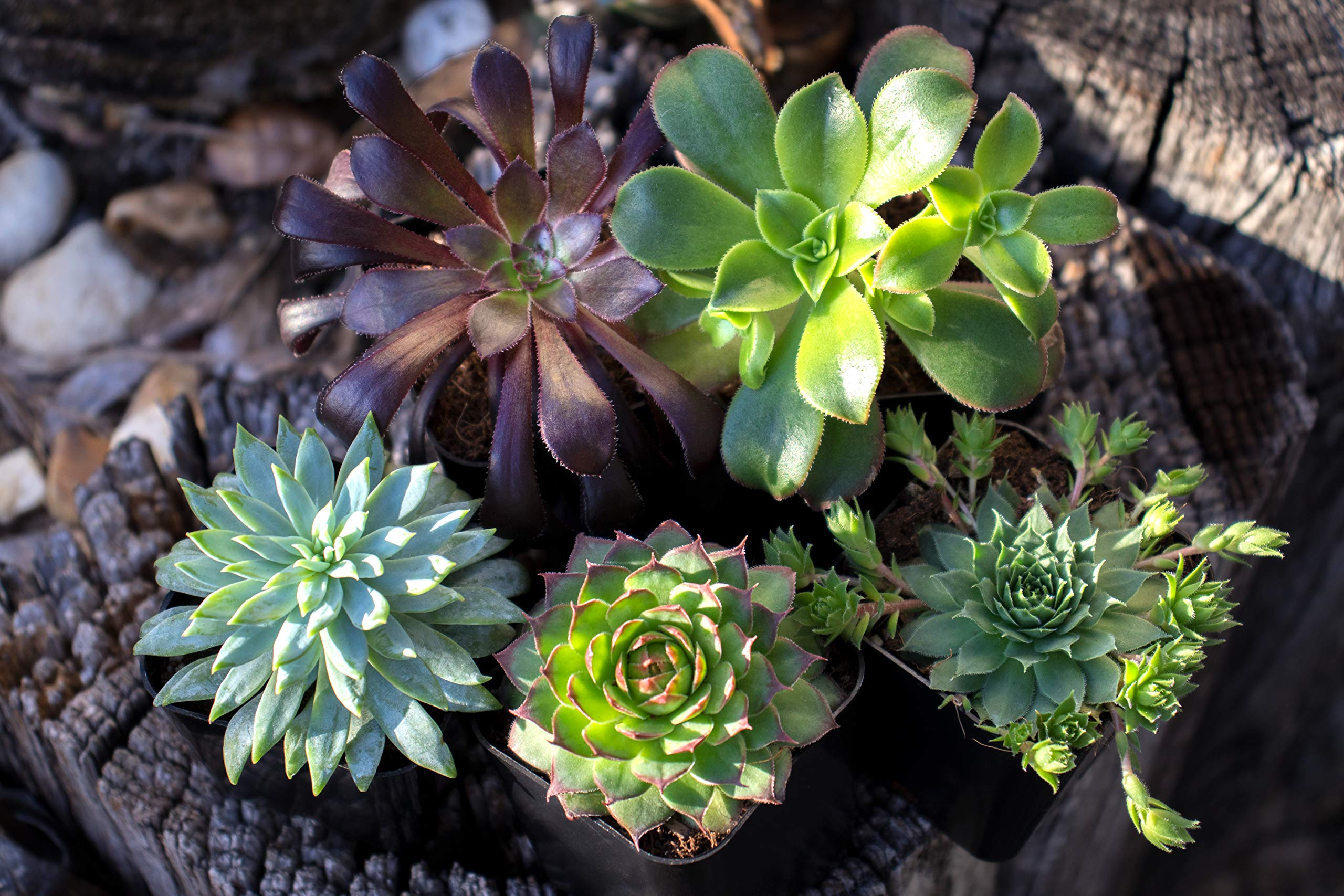 Succulent Plants (20 Pack) Fully Rooted in Planter Pots with Soil | Real Live Potted Succulents / Unique Indoor Cactus Decor by Plants for Pets 5 HAND SELECTED: Every pack of succulents we send is hand-picked. You will receive a unique collection of species that are fully rooted and similar to the product photos. Note that we rotate our nursery stock often, so the exact species we send changes every week. THE EASIEST HOUSE PLANTS: More appealing than artificial plastic or fake faux plants, and care is a cinch. If you think you can't keep houseplants alive, you're wrong; our succulents don't require fertilizer and can be planted in a decorative pot of your choice within seconds. DIY HOME DECOR: The possibilities are only limited by your imagination; display them in a plant holder, a wall mount, a geometric glass vase, or even in a live wreath. Because of their amazingly low care requirements, they can even make the perfect desk centerpiece for your office.