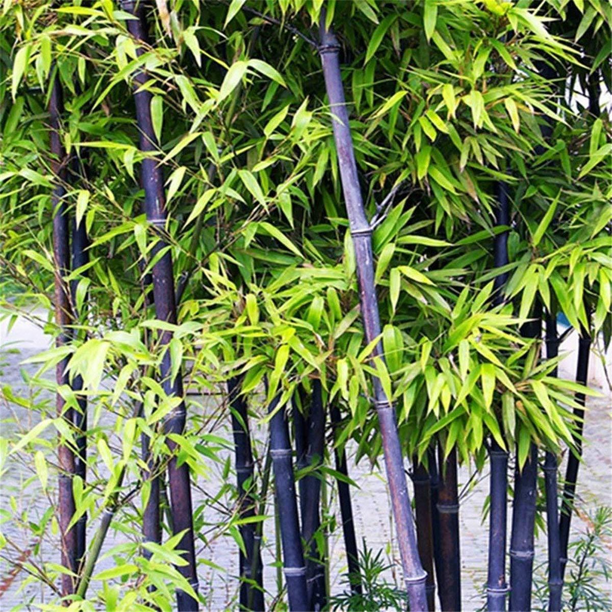 Shangwelluk Colorful Black Purple Green Moso-Bamboo Seeds Black Purple Garden Plants Black
