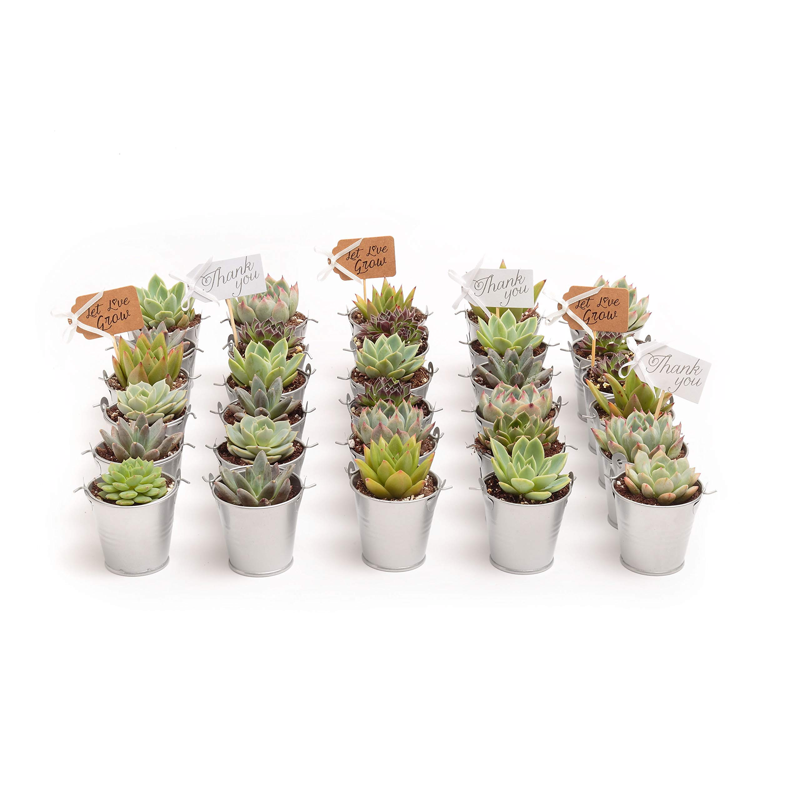2 in. Wedding Event Rosette Succulents with Silver Metal Pails and Thank You Tags (100)