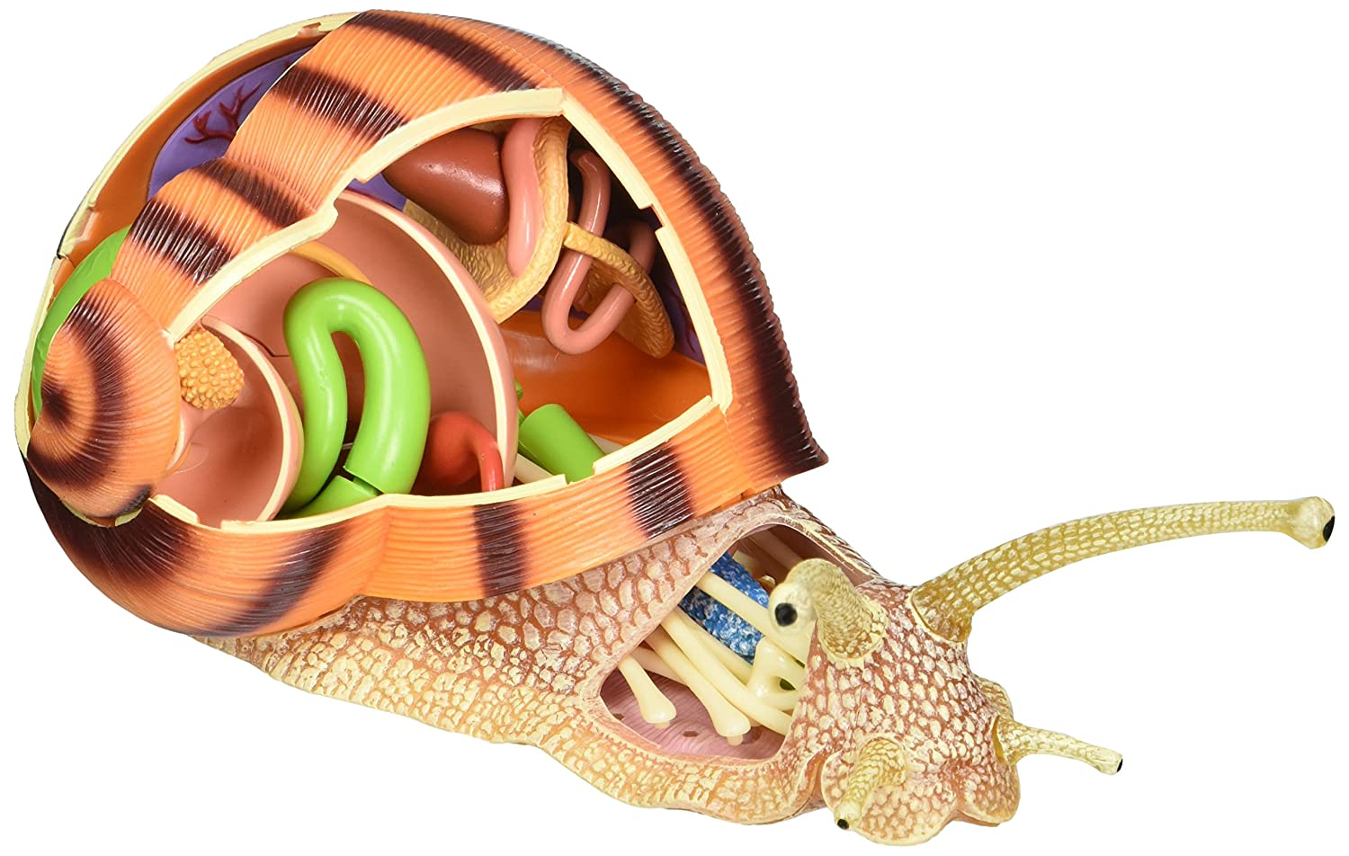 Amazon.com: TEDCO 4D Vision Snail Anatomy Model: Toys & Games