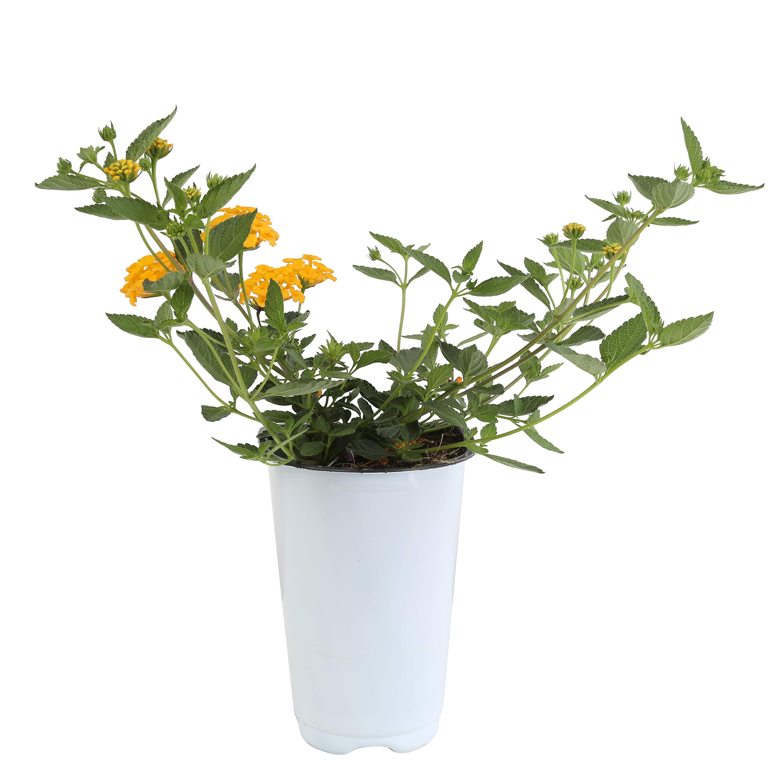 Costa Farms Live Premium Lantana Plant 1.00 qt Grower Pot, 8-Pack Yellow by Costa Farms (Image #2)
