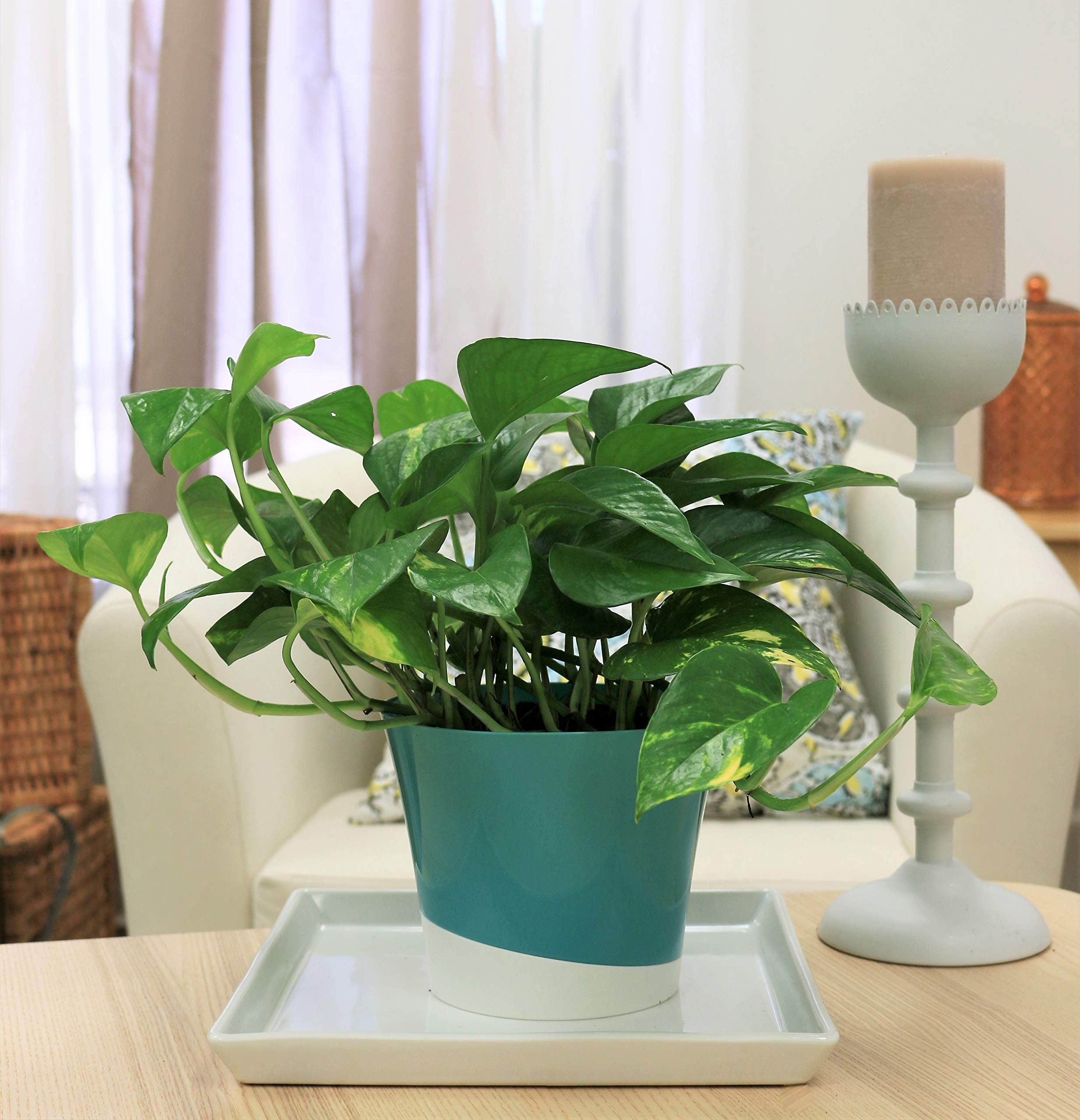 Costa Farms Golden Pothos Devil's Ivy Live Indoor Plant, 6-Inch, Ships in Grower's Pot by Costa Farms (Image #4)