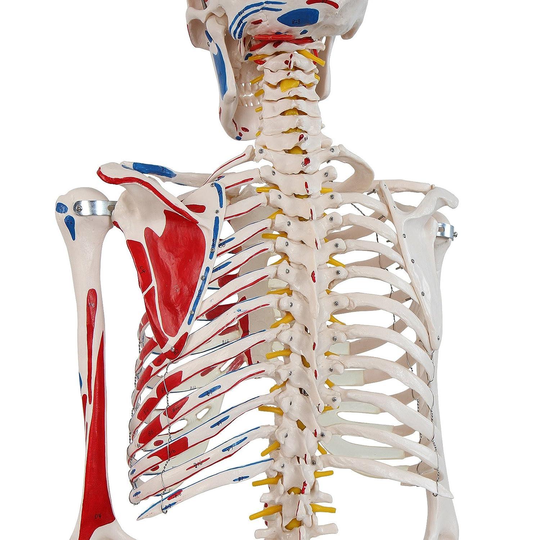 Menschliches Anatomie Skelett lebensgroß mit Muskelbemalungdetails ...