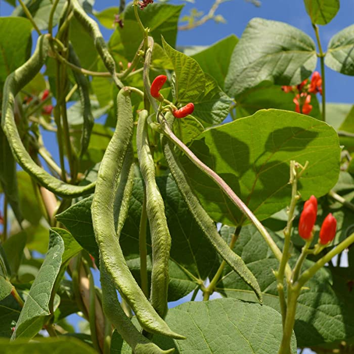 Scarlet Runner Pole Bean Seeds - 1 Lb ~335 Seeds - Non-GMO, Heirloom - Vegetable Garden Seeds - Also Called: Scarlet Conqueror, Fire Bean