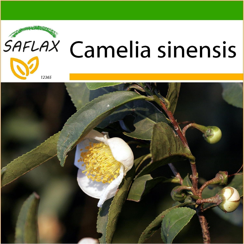 SAFLAX - Árbol del té - 6 semillas - Con sustrato - Camelia sinensis