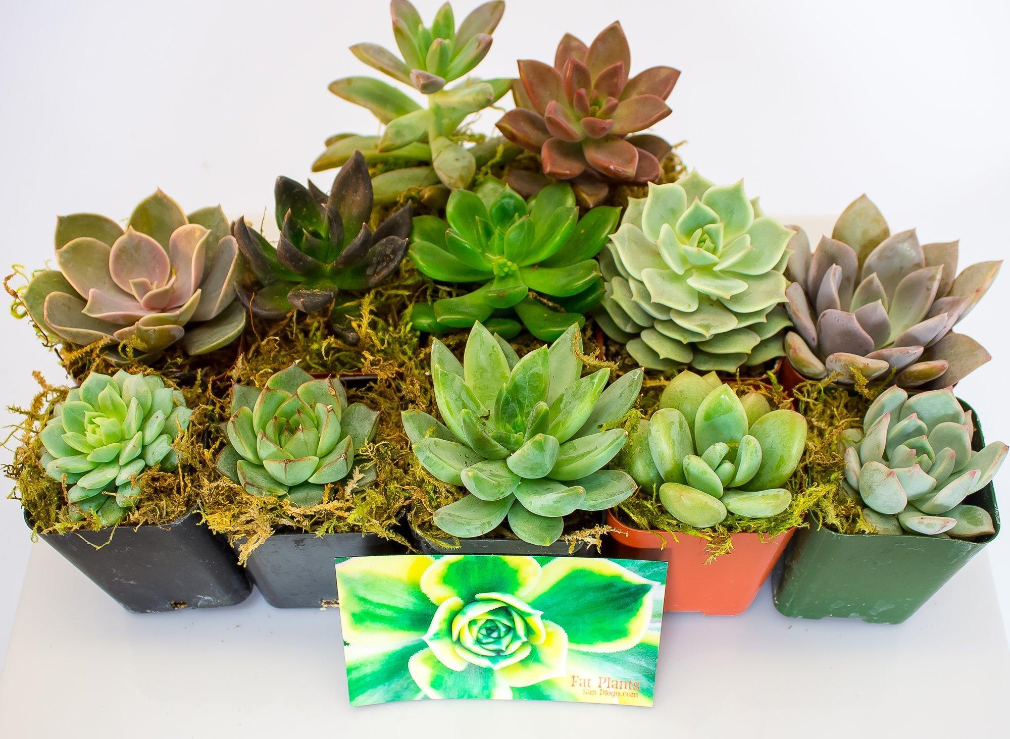 Fat Plants San Diego Mini Rosette Succulent Plants in Growers Pots