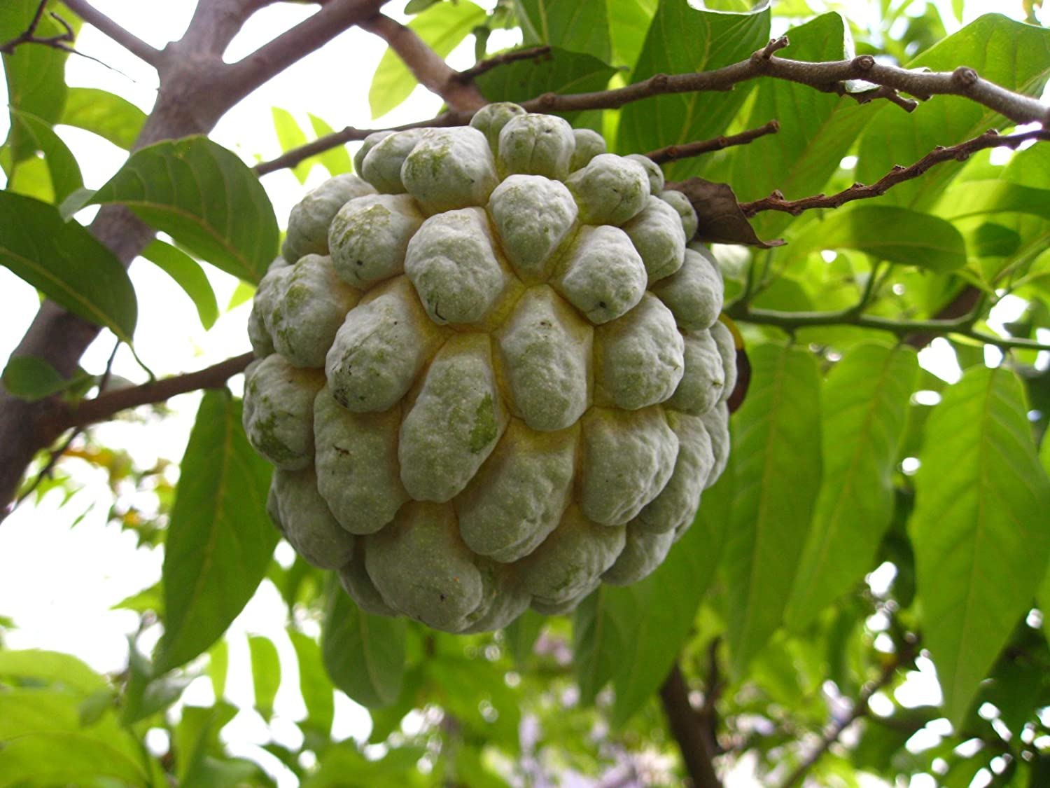 Custard Apple Cultivation Images