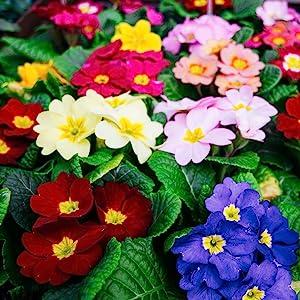 Primula Primrose Flower Seeds - Super Nova Mix - 100 Seeds - Perennial Garden Flowers - Bright Colored Mixed Blooms - P. Polyanthus