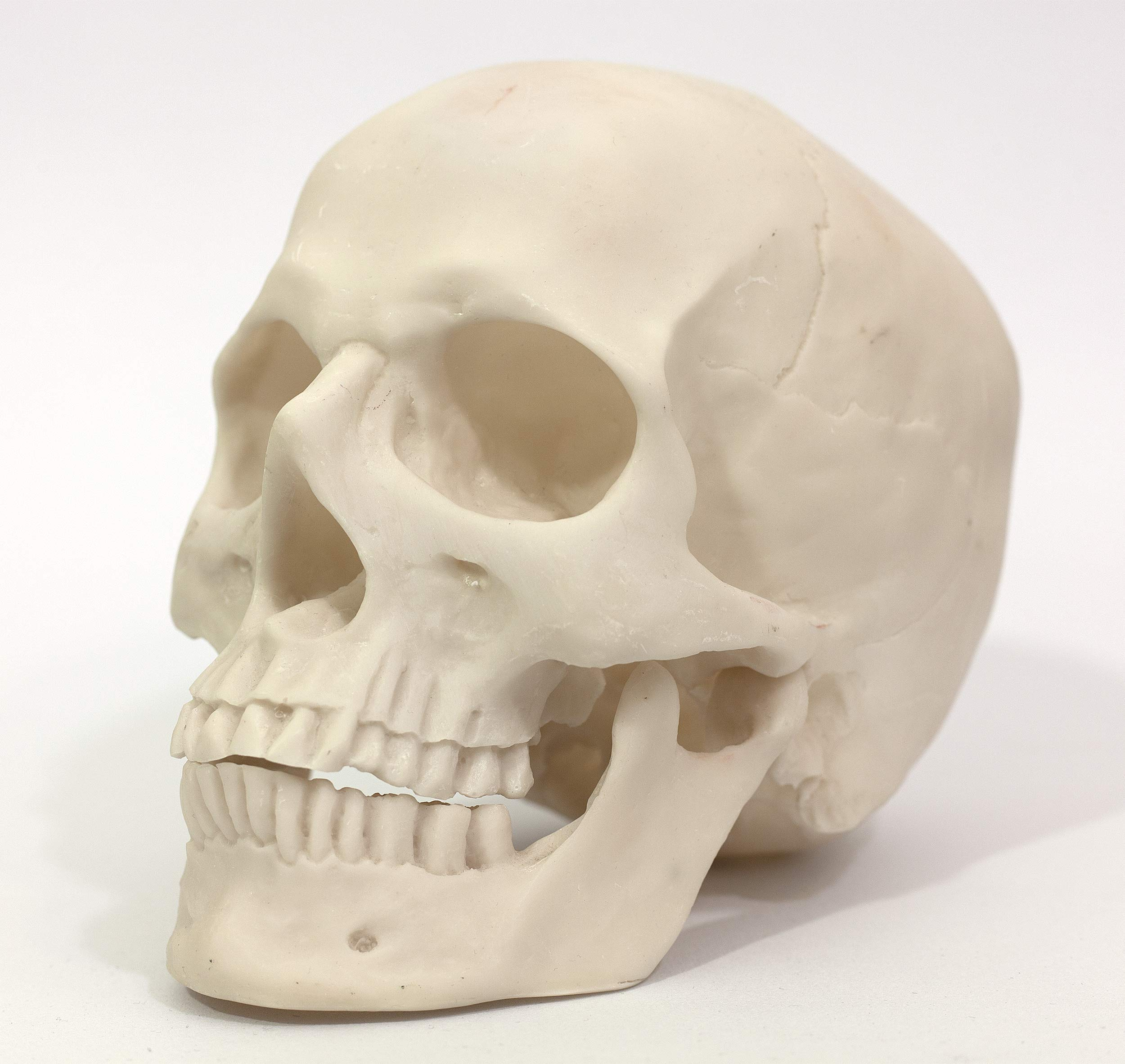 ADAGIARE Artist Anatomy Reference Skull and Head Model for Life Drawing and Painting by Adagiare