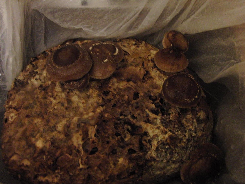 Mushroom Growing Kit (SHIITAKE) - by MUSHROOMBOX (TM) Mushroom Box(TM)