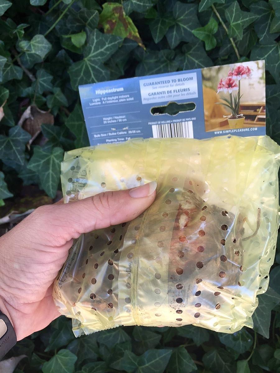 Charisma Amaryllis Bulb - Single Blooming Amaryllis