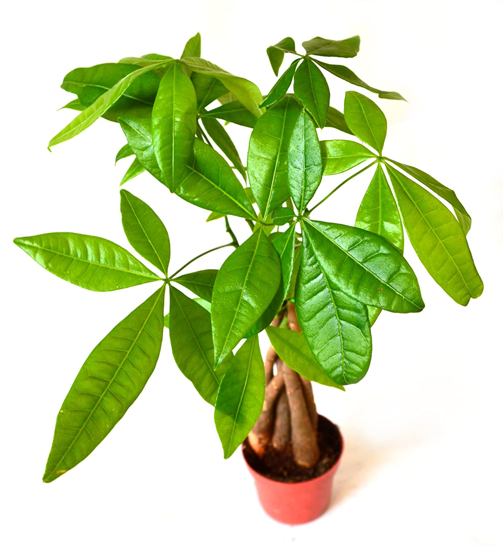 "9GreenBox - 5 Money Tree Plants Braided into 1 Tree - 4"" Pot ..."
