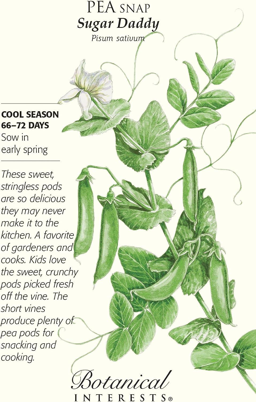 Sugar Daddy-Snap Pea Seeds 60 Gramm Botanischer Interesse