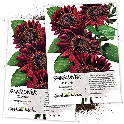 Seed Needs, Red Sun Sunflower (Helianthus annuus) Twin Pack of 120 Seeds Each : Sunflower Plants : Garden & Outdoor